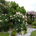 üppige Blütenpracht der Rosen Eden,   Kneipp und New Dawn