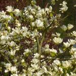 Magnolie Elisabeth, cremweiss