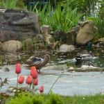 Ein Entenpaar zu Besuch